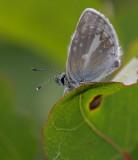 Turkos blåvinge (Aricia nicias)