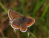 Rödfläckig blåvinge (Aricia agestis)