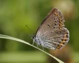 Kronärtsblåvinge (Plebejus argyrognomon)