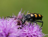 Fyrbandad blombock (Leptura quadrifasciata)