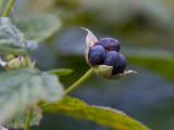Blåhallon (Rubus caesius)
