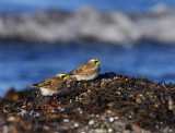 Shore Lark (Eremophila alpestris)