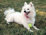 Ellie, Our Mini American Eskimo Dog (November 1, 2001 - (vet-assigned b.d.), adopted August 1, 2006, d. August 1, 2017)