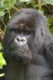 Ubumwe, the Amahoro Group's dominant silverback, welcomes us to the group.