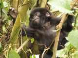 A baby gorilla playfully climbs a tree while we look on.
