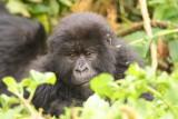 One of the gorillas takes a short break from eating vegetation.