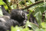 One of the silverbacks relaxes in the vegetation.