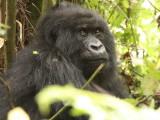 I believe this is one of the female gorillas named Karisimbi, the highest peak in the Virunga volcanoes range.