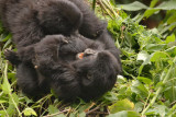 Two of the juvenile gorillas in the Amahoro Group tussle and play with each other.