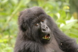 Another of the group females (I believe this one's name is Rwanda) eyes us while chewing.