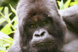 Mountain Gorillas From Amahoro Group, Rwanda