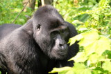 This dominant silverback bears the group's name, Nkuringo, which is also the name of a nearby mountain where the gorillas were first encountered.