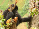 An adolescent gorilla relaxes in a tree.