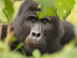 This gorilla peered at us through a small hole in the surrounding vegetation.