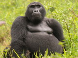 The physique of this silverback seems quite different from its counterparts in Rwanda.