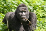 This is the group's dominant silverback, Rwansigazi.