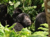 One of the many juvenile gorillas in the group.  Habinyanja has a total of 22 gorillas, and is the largest tourist group in the Bwindi Impenetrable National Park.