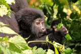 Here, the baby plays with a handful of leaves, imitating his mother's feeding behavior.