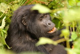 Here is Rukundo, the baby's mother.  She paid virtually no attention to the human visitors and just kept eating.