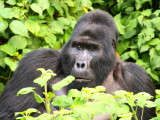 Rwansigazi watched over the group, spread out over a large open area in the forest.