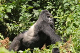Then, abruptly, Rwansigazi broke up the play fight and our time with the gorillas was over.  The silverbacks' chest-beating echoed through the forest as we hiked away.