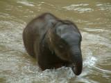 A Baby Elephant Finishing Its Bath