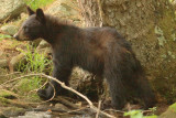 One of the cubs makes its way along the stream's banks