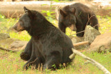 Mother bear and one of her cubs