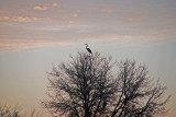 Great Blue Heron against the morning sky
