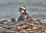 Osprey with Chick