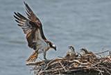 Osprey Chicks at 4 Weeks