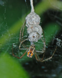 Small Spider with Egg Sacks