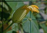 Pumpkin Bloom Bud
