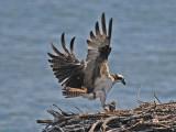 Osprey Returning to Nest with Catch