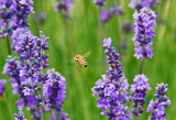 Honey Bee (and Lavender)