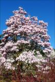 Magnolia - Rustica Rubram