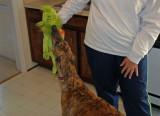 Day 6-The grinchhound!