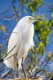 Rooftop egret