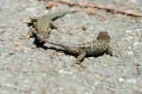 Dueling Lizards