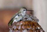 Hummingbird Bath