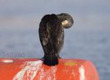 cormorano-viareggio035.jpg
