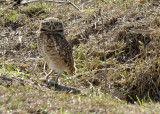 Burrowing Owl,  The Pantanal
