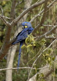 Hyancinth Macaw 2  The Pantanal