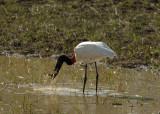 Jaribu Stork,  The Pantanal
