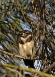 Spectacled Owl,  The Pantanal