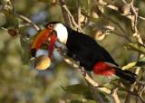 Toco Toucan 1,  The Pantanal