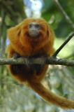 Endangered Golden Lion Tamarin