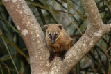 South American Coati 2,  The Pantanal
