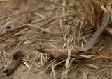 Whip Snake,  The Pantanal