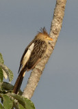 Guira Cuckoo,  The Pantanal